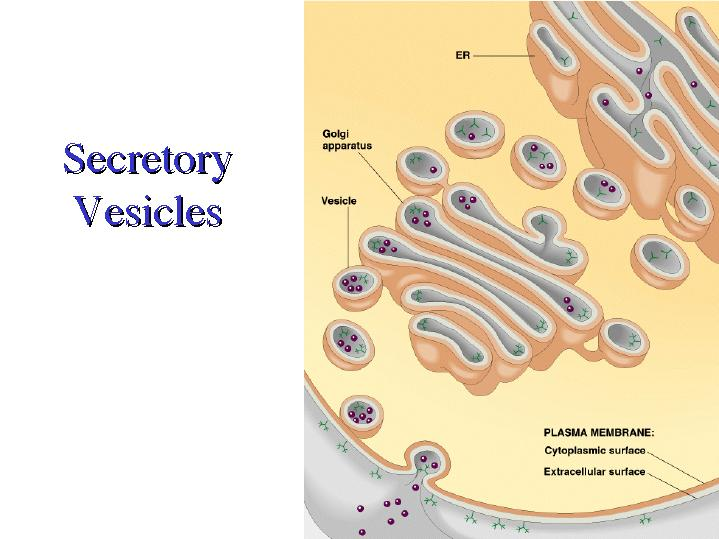 Vesicle animal cell function - photo#34
