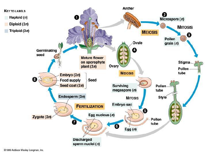 Angiosperm Life Cycle