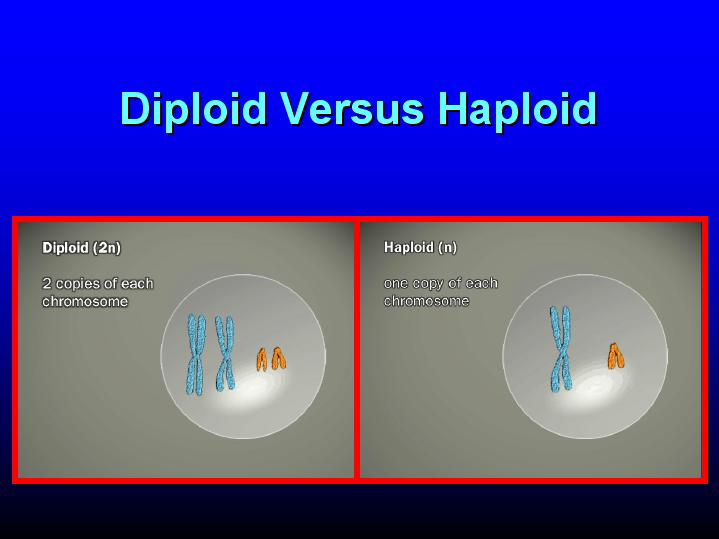 diploid - définition - What is