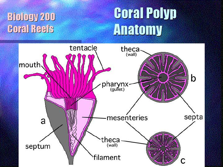 Coral Polyp Anatomy