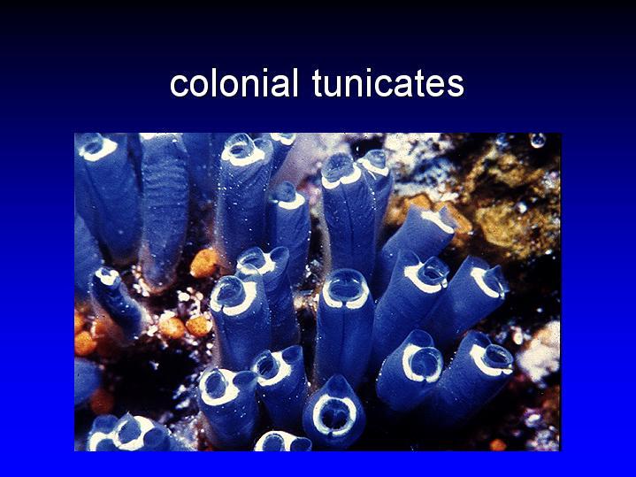 Tunicates, The - The Tunicates