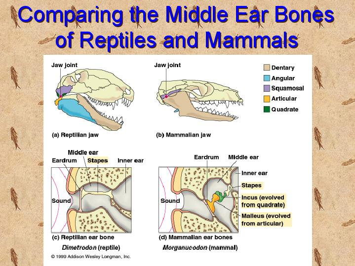 Comparing The Middle Ear Bones Of Reptiles And Mammals