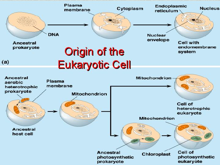 origin of eukaryotic cells theory